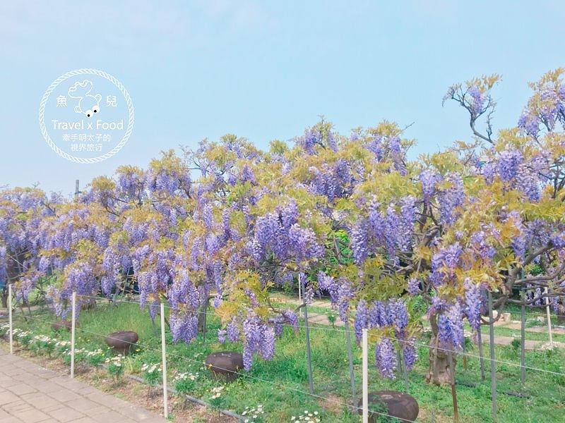 【遊】紫藤咖啡園(屯山園區)~季節限定的浪漫 @魚兒 x 牽手明太子的「視」界旅行